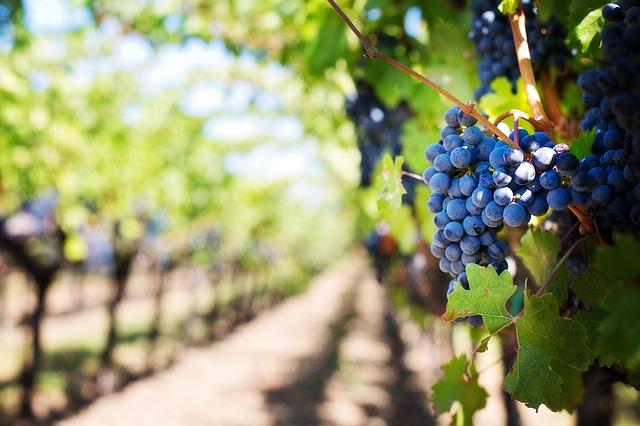La guida ai vini marchigiani